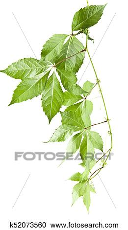免版税(rf)类图片 - 绿色的树叶, 在中, 葡萄, 隔离, 在怀特上, 背景图片