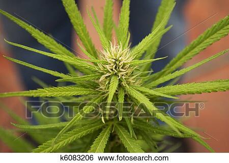 Banque d 39 illustrations feuille cannabis mariuana plante k6083206 recherche de clip arts - Dessin feuille cannabis ...
