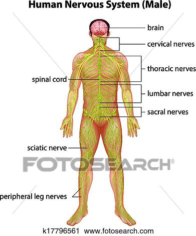 Clipart Of Human Nervous System K17796561 Search Clip Art