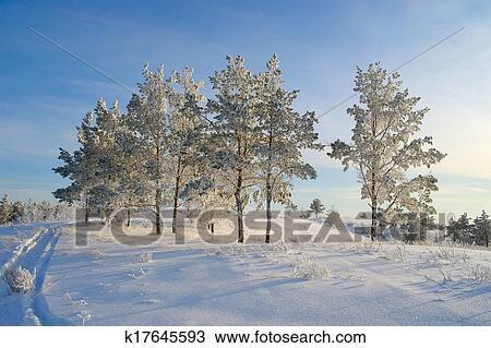 晚上, 冬天风景, 带, 松树图片