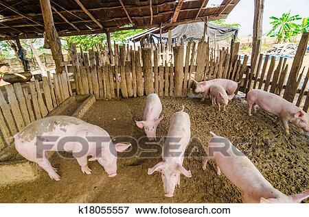 Immagine giovane maiali fattoria k18055557 cerca for Stampe di fattoria gratis