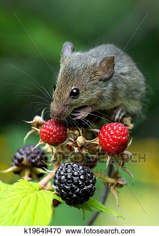 免版税(rf)类图片 - 老鼠图片