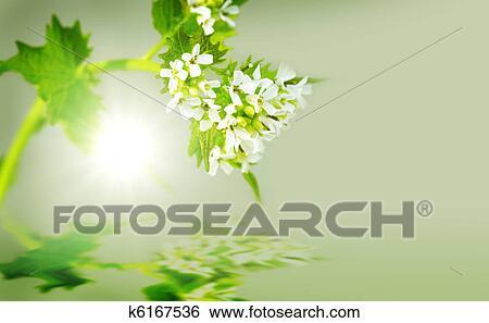 Archivio di immagini aglio pianta senape k6167536 for Aglio pianta