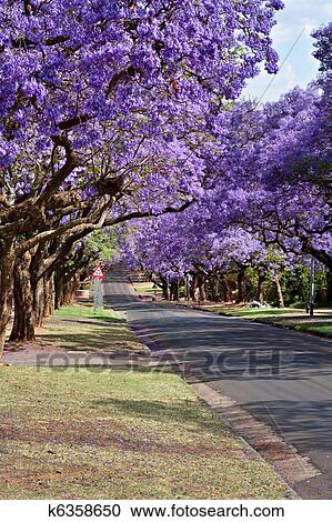 Stock Photography of jacaranda trees k6358650 - Search ...