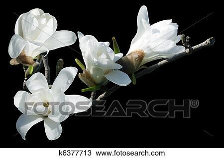 Archivio fotografico bianco magnolia k6377713 cerca for Magnolia pianta prezzi