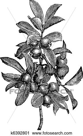 Clipart Of Cattley Guava Or Psidium Littorale Vintage Engraving