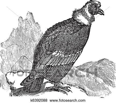 Clip Art of Andean Condor or Vultur gryphus vintage ...