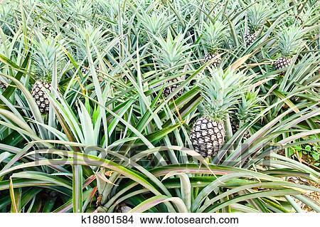 stock foto ananas pflanze k18801584 suche stockbilder. Black Bedroom Furniture Sets. Home Design Ideas