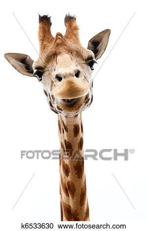 Banques de photographies rigolote girafe k6533630 - Girafe rigolote ...