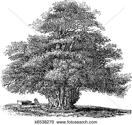 clip art of yew tree or taxus baccata at st helens church. Black Bedroom Furniture Sets. Home Design Ideas