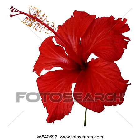 hibiscus images and stock photos. , hibiscus photography and, Beautiful flower