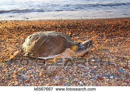 Immagine legno tartaruga glyptemys insculpta for Lago per tartarughe