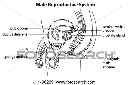 Clip Art of Male reproductive system k17796239 - Search ...