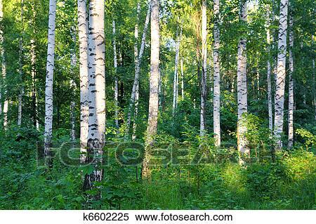 图片银行 - 夏天, 桦树, 树林图片