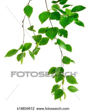 banque de photo branche de arbres bouleau jeune feuilles et bourgeons k18834612. Black Bedroom Furniture Sets. Home Design Ideas