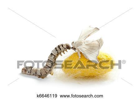 Hazır fotoğraf kelebek ipek böceği koza ipekli sonsuz vida