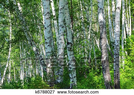 图片- 夏天, 桦树, 树林图片