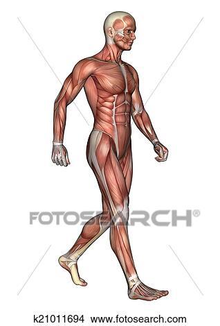手绘图 - 男性, 解剖学图片