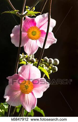 Archivio fotografico controluce anemone japonica o for Anemone giapponese