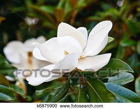 Archivio fotografico magnolia fiori in albero for Magnolia pianta prezzi