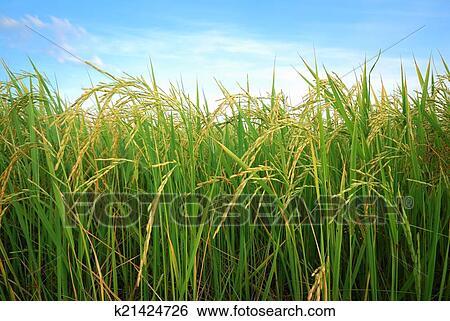 图片银行 - 水稻. fotosearch - 搜索照片,海报照片,图片及照片剪贴画