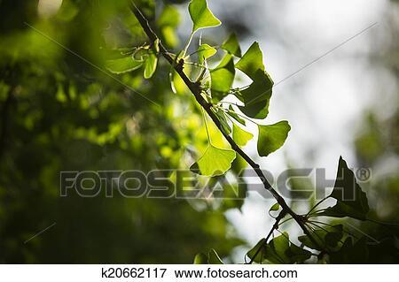 图片- 银杏biloba, 树枝, 带, 叶子.图片