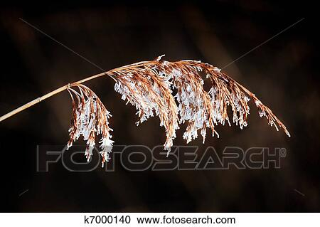 Stock Photography of Common Reed (phragmites australis ...