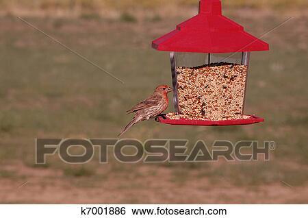 Banque d 39 images a m le maison pinson carpodacus - Graine de piment oiseau ...