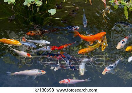 Immagini carpa koi pesci k7130598 cerca archivi for Carpa giapponese prezzo