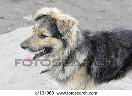 Pictures of Sad stray dog posing on the street k7137968 ...