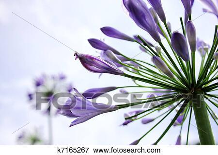 图片- 紫色, 百合花