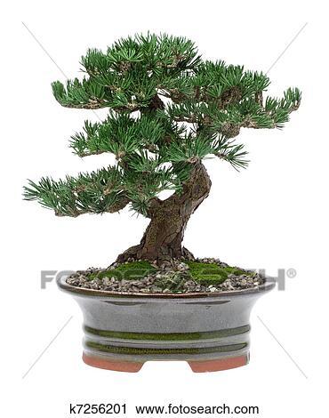 stock fotografie bonsai baum k7256201 suche stockfotos fotos prints bilder und foto. Black Bedroom Furniture Sets. Home Design Ideas