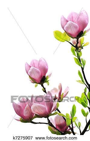 Immagine primavera albero magnolia fiori k7275907 for Magnolia pianta prezzi
