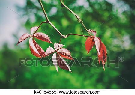 图片银行 - 野, 葡萄, 红的树叶图片
