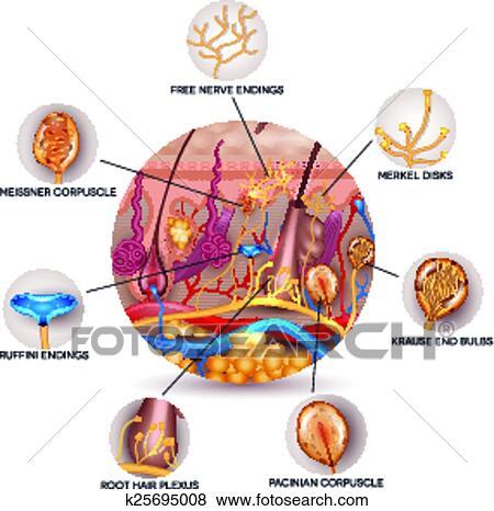 Clip Art Of Skin Anatomy And Sensory Receptors In The Skin K25695008