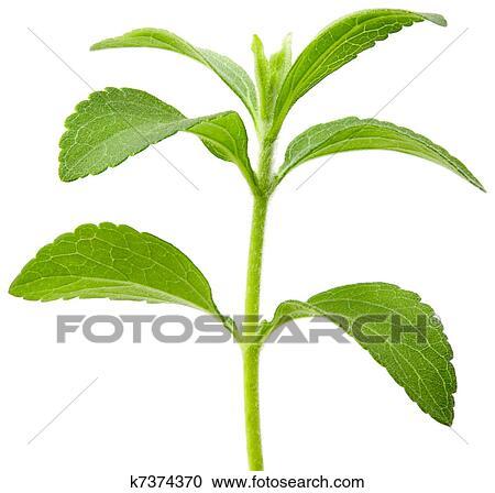 banques de photographies stevia plante coupure k7374370 recherchez des photos des images. Black Bedroom Furniture Sets. Home Design Ideas