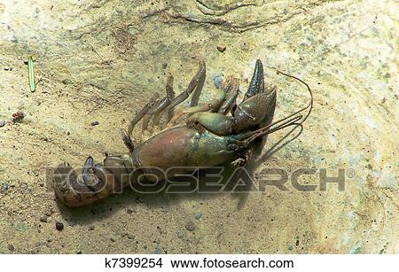Procambarus leonensis | A common crayfish in ephemeral and ...