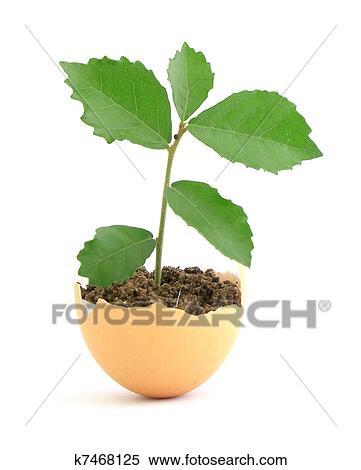 banque d 39 image croissant plante verte dans coquille. Black Bedroom Furniture Sets. Home Design Ideas