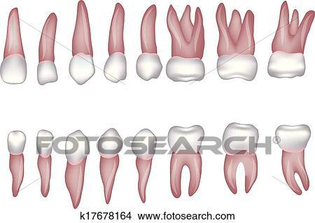 Clipart Of Human Teeth Illustration K17678164 Search Clip Art