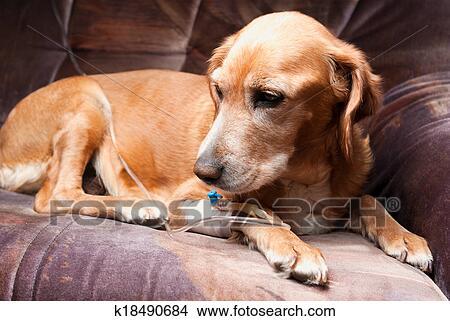 躺/�ij�{��j8�Nh@_图吧- 狗, 在床上躺, 带, cannula, 在中, 静脉, 拿, 灌输.