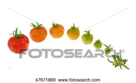stock fotograf evolutionsphasen von rote tomate. Black Bedroom Furniture Sets. Home Design Ideas