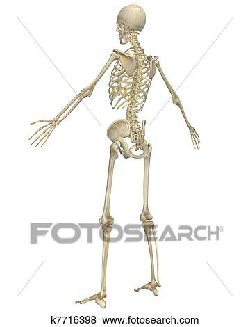 banque d 39 illustrations squelette humain anatomie inclin vue post rieure k7716398. Black Bedroom Furniture Sets. Home Design Ideas
