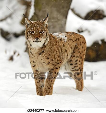 野, 山猫, 在中, the, 冬季, 森林