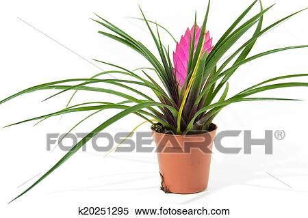 Banque d 39 image bromelia plante dans pot k20251295 for Plante bromelia