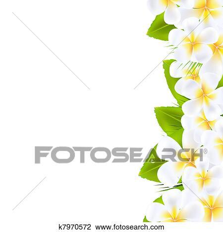 Frangipani Flower Drawing Clipart Frangipani Flowers