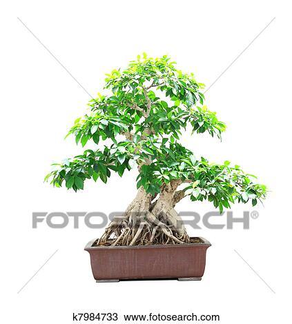 Archivio fotografico ficus bonsai k7984733 cerca for Tipi di bonsai