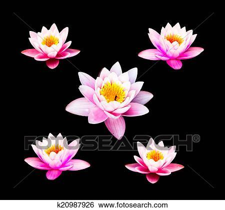 图片银行 - 水百合花, 隔离, 在上, the, 黑色, 背景., 粉红色, 莲花.