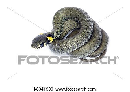 Archivio fotografico serpente k8041300 cerca archivi for Serpente nero italiano