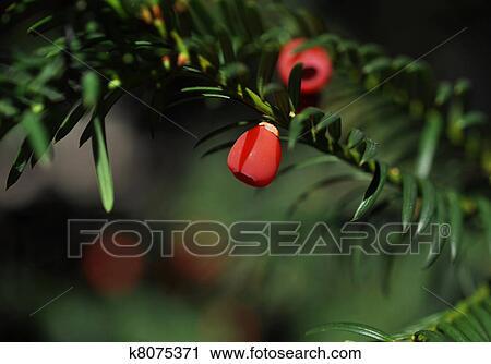 banques de photographies arbre if fruits rouges k8075371 recherchez des images des. Black Bedroom Furniture Sets. Home Design Ideas