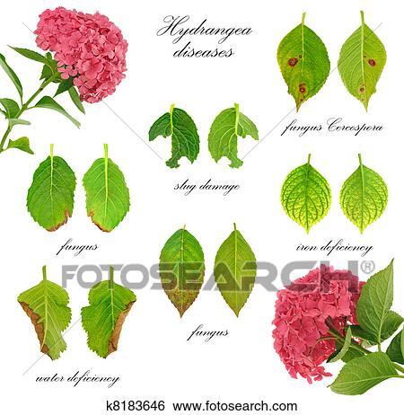 Banque d 39 images maladies de hortensia macrophylla - Maladie des hortensias photos ...